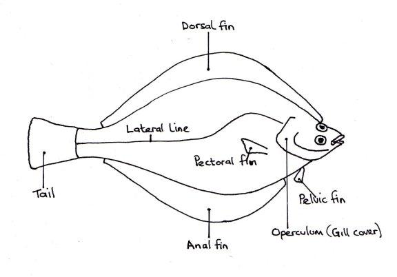 flounder diagram related keywords